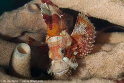 BD-160102-Kalanggaman-2028-Scorpaenopsis-possi.-Randall---Eschmeyer.-2001-(Poss's-scorpionfish].jpg